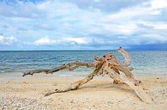 在沙滩的破坏的漂流木头 库存照片