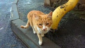 在沥青路面的无家可归的红色猫 库存照片