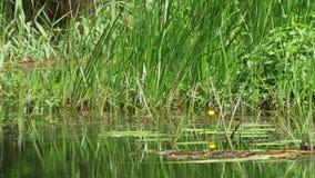 在河、绿色植被、海藻和百合的自然在河 股票录像