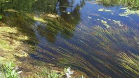 在河、绿色植被和海藻的自然在河的河岸 股票录像