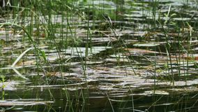 在河、绿色植被和海藻的自然在河的河岸 股票视频