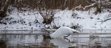 在河上的一次美好的白色天鹅飞行在冬天 图库摄影