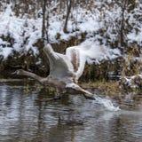 在河上的一次年轻天鹅飞行在冬天 库存照片