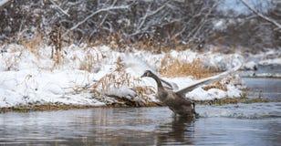 在河上的一次年轻天鹅飞行在冬天 库存图片