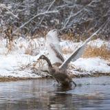 在河上的一次年轻天鹅飞行在冬天 图库摄影