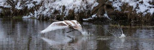 在河上的一次年轻天鹅飞行在冬天 免版税库存图片
