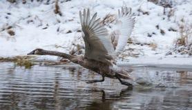 在河上的一次年轻天鹅飞行在冬天 免版税图库摄影
