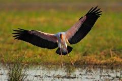 在河上的飞行鹳 Strok在自然行军栖所 鸟在水中 从坦桑尼亚的鹳 黄色开帐单的鹳, Myct 免版税库存图片