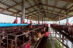 在河中间位于的养鸡场 库存照片