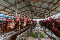 在河中间位于的养鸡场 库存图片