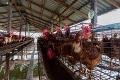 在河中间位于的养鸡场 图库摄影