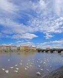 在河伏尔塔瓦河的天鹅在布拉格 免版税库存照片