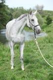 在河前面的白色英国良种马 库存照片