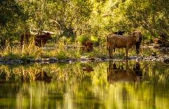 在河反映的母牛 图库摄影