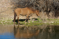 在河反映的野马 免版税库存图片