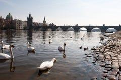 在河和查理大桥的天鹅 免版税库存图片