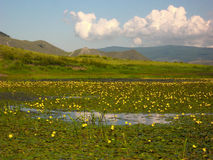 在河在贝加尔湖的Ust Anga的开花的荷花 免版税库存照片