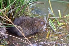 在河岸旁边的水田鼠 库存照片