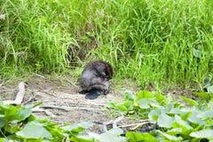 在河岸的一个海狸 免版税图库摄影