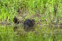 在河岸的一个海狸 库存照片