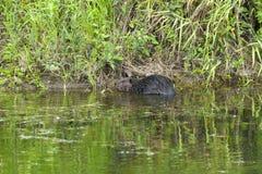 在河岸的一个海狸 免版税库存照片