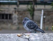 在河岸的一个鸽子身分 免版税图库摄影