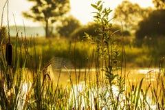在河岸的一棵cobwebon草 一个柔和的美好的早晨本质上 免版税库存照片