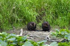 在河岸的两个海狸 库存照片