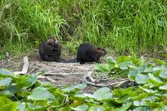 在河岸的两个海狸 免版税库存照片