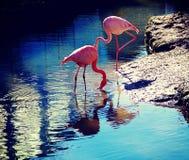 在河岸的两群火鸟 免版税库存图片