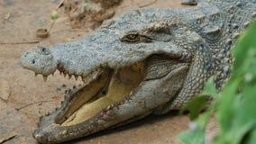 在河岸的大鳄鱼 影视素材