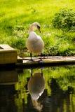 在河岸的天鹅有反射的 免版税库存图片