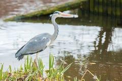 在河岸的灰色苍鹭 免版税图库摄影