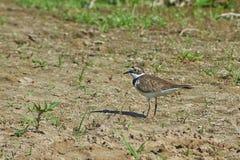 在河岸的珩科鸟鸟 免版税库存照片