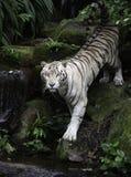 在河岸的白色孟加拉老虎 免版税库存图片