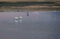 在河岸的白鹭在日落 免版税库存照片