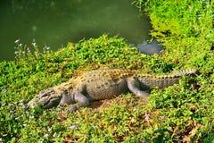 在河岸的鳄鱼 库存图片
