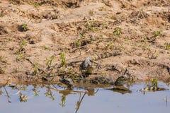 在河岸边缘的小凯门鳄  免版税库存图片