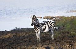 在河岸,克鲁格国家公园,南非的野生斑马 库存图片