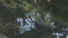在河岸,印度的Gharial鳄鱼 股票视频