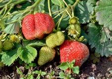 在河床上的草莓 库存图片