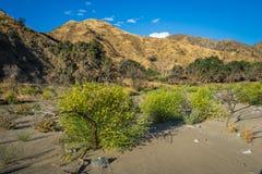 在河床的黄色开花的灌木 免版税库存图片