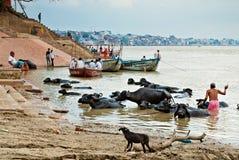 在河恒河, 2013年10月1日,瓦腊纳西,印度的江边的沐浴用水水牛 库存照片