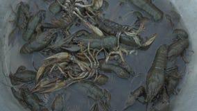 在河捉住的活小龙虾涌入在烹调前的面盆 影视素材