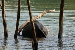 在河摩擦的大象反对树干 库存图片
