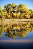 在河旁边的杨属euphratica 图库摄影