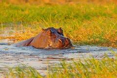 在河水的河马 非洲野生生物 非洲河马,河马amphibius海角,与晚上太阳,在natu的动物 库存图片