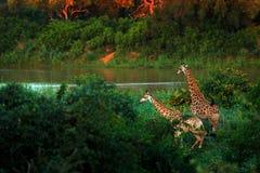 在河水附近的两头长颈鹿 与大动物的绿色植被 从自然的野生生物场面 晚上光在森林里, Afr 图库摄影