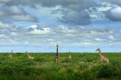 在河水附近的五头长颈鹿 与大动物的绿色植被 从自然的野生生物场面 晚上光在森林里, Bo 免版税库存图片