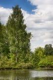 在河河岸的桦树  库存照片